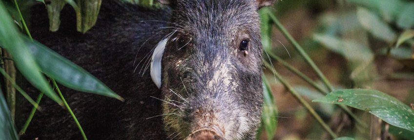 Peccary_with_tag-Original Photo by Jon Woodworth